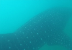 Whalesharks in Donsol