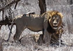 Kruger Park het grootste safaripark in Zuid-Afrika: Spot de Big Five