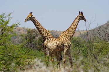 Spot de Big-Five in het Pilanesberg National Park in Zuid-Afrika